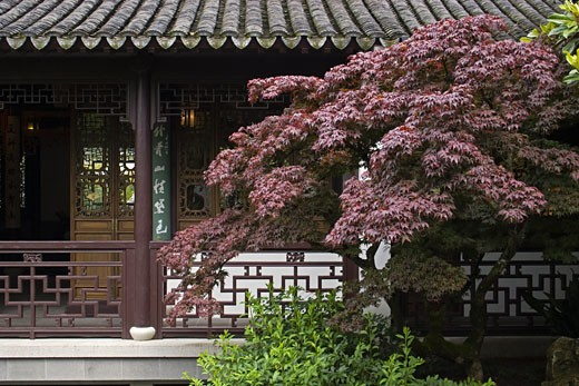 A red maple in the Portland Classical Chinese Garden,  an authentically built Ming Dynasty style garden - PORTLAND, OREGON  : Stock Photo