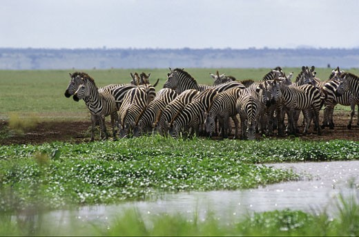 A herd of BURCHELL'S ZEBRAS (Equus burchelli) drink at a stream in LAKE MANYARA NATIONAL PARK - TANZANIA : Stock Photo
