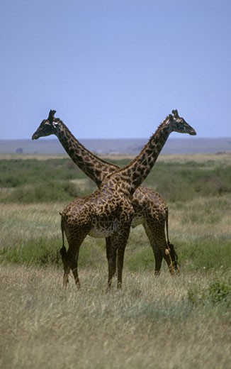 Two MASSAI GIRAFFE (Giraffa Camelopardalus) - SERENGETI NATIONAL PARK, TANZANIA : Stock Photo