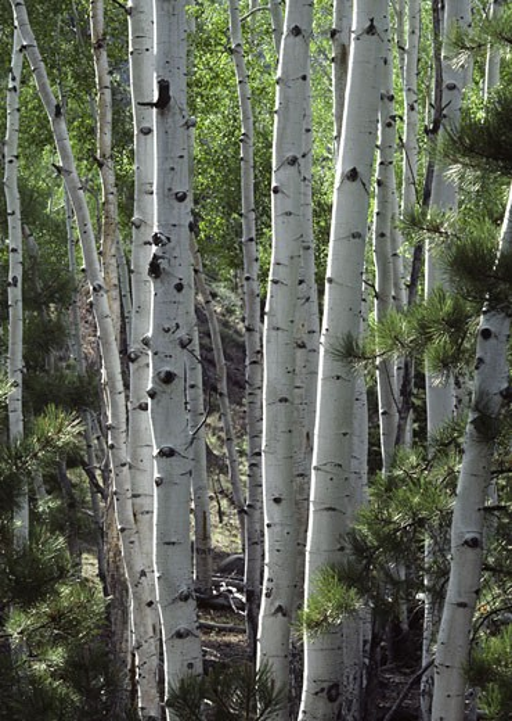 Stock Photo: 1886-7431 Grove of ASPEN trees - UTAH