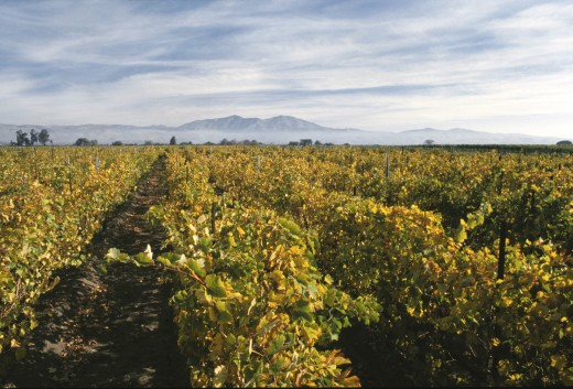 Stock Photo: 1886-7517 Rows of GRAPEVINES in VENTANA VINEYARDS - MONTEREY COUNTY
