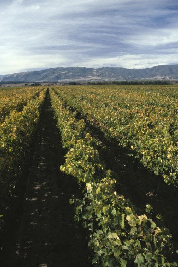 Rows of GRAPEVINES in VENTANA VINEYARDS - MONTEREY COUNTY : Stock Photo