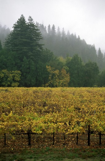 CHAMPAGNE GRAPES grow in the RUSSIAN RIVER area of CALIFORNIA with REDWOOD TREES as a border - FORESTVILLE, CALIFORNIA : Stock Photo