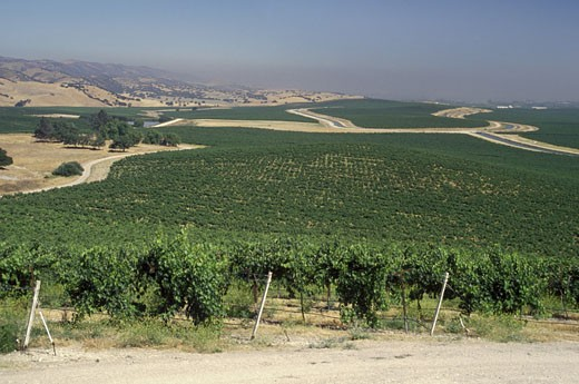 Rows of WINE GRAPES grow at DELICATO VINEYARD, the largest continuous vineyard in CALIFORNIA - SALINAS VALLEY : Stock Photo