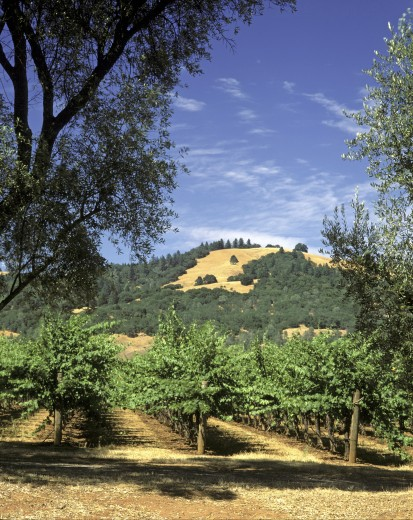 Stock Photo: 1886-7548 A VINEYARD of wine grapes grow in the afternoon sun in the SONOMA AREA of CALIFORNIA