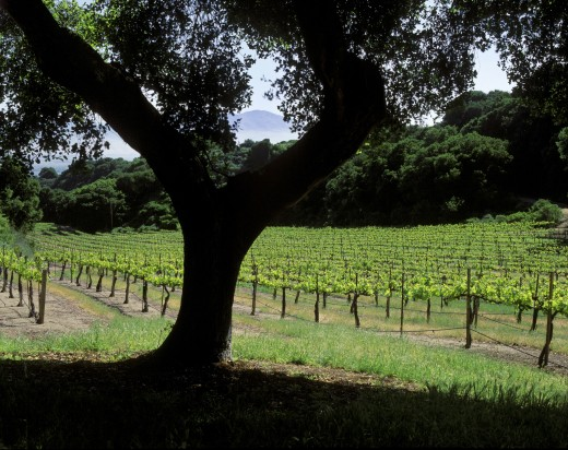 Dear Meadow section of the SMITH & HOOK/HAHN ESTATES Vineyard located in the Santa Lucia Mnts. - CALIFORNIA  : Stock Photo