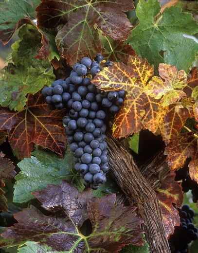 A beautiful cluster of ZINFANDEL WINE GRAPES ripen in the sun : Stock Photo