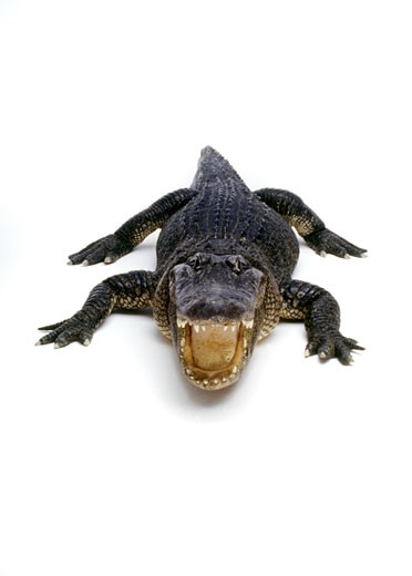 Stock Photo: 1886-7599 Full body shot of ALLIGATOR in - studio shot