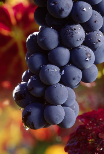 Stock Photo: 1886-7765 CLUSTER of CABERNET GRAPES ripening on the VINE - MONTEREY COUNTY, CALIFORNIA