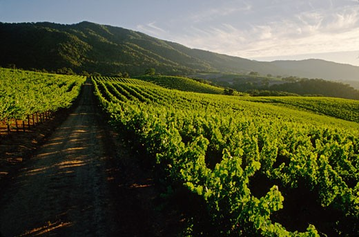 Stock Photo: 1886-7768 GRAPE VINE rows recede into the hills, late afternoon light - JOULLIAN VINEYARDS - CARMEL VALLEY, CALIFORNIA