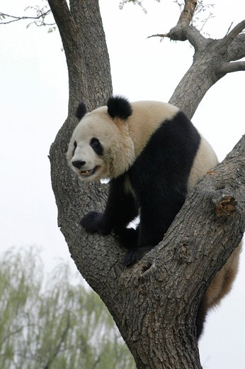 panda playing on tree : Stock Photo