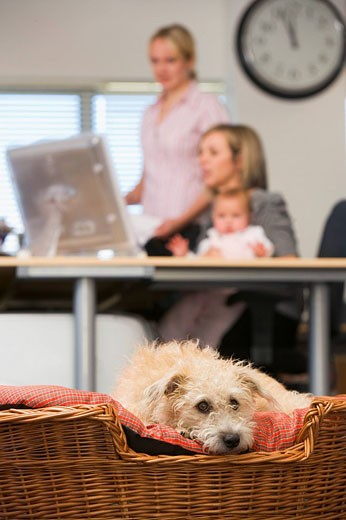 Dog lying in home office with two women and a baby in background : Stock Photo