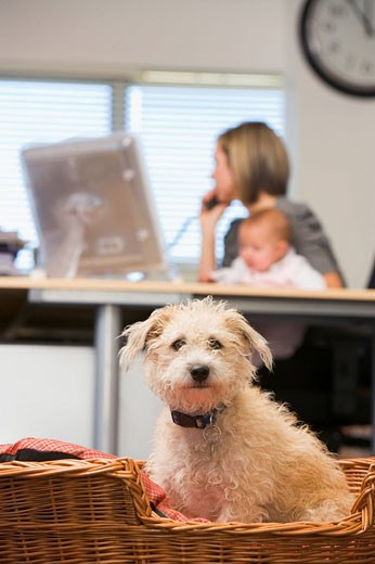 Stock Photo: 1888R-11577 Dog sitting in home office with woman holding baby in background