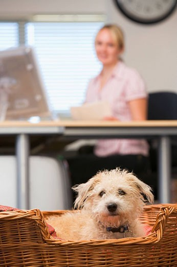 Stock Photo: 1888R-11578 Dog lying in home office with woman in background