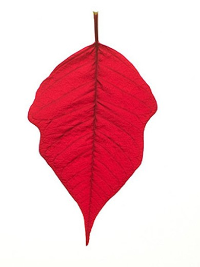 Stock Photo: 1888R-22093 Red Leaf