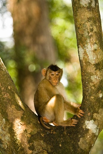 Longtail Macaque (Macaca fascicularis) sitting on tree; Sepilok Man of the Forest Sanctuary, Sepilok, Borneo, Sabah, Malaysia : Stock Photo