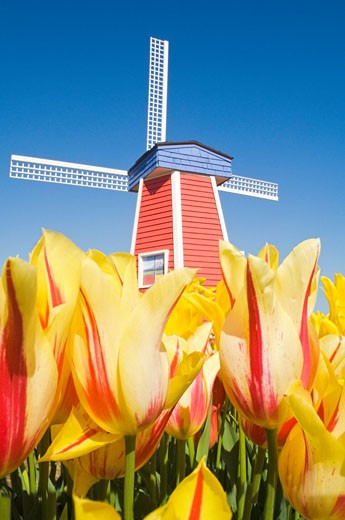 Windmill at Wooden Shoe Tulip Farm; Willamette Valley, Woodburn, Oregon, USA : Stock Photo