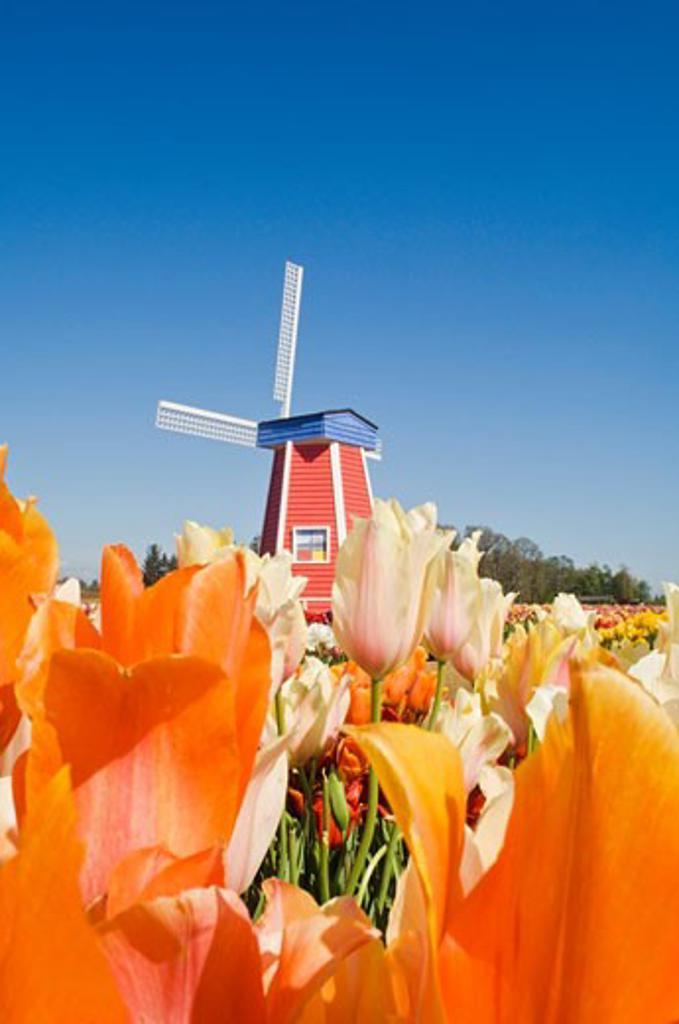 Windmill at Wooden Shoe Tulip Farm; Willamette Valley, Woodburn, Oregon, USA : Stock Photo