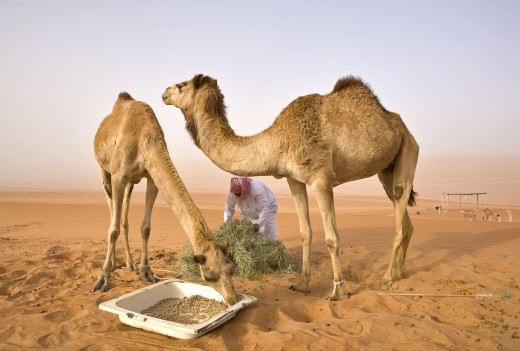 Stock Photo: 1889-43607 Wahiba,Oman,Feeding time for the camels of a local Bedouin in Wahiba Sands