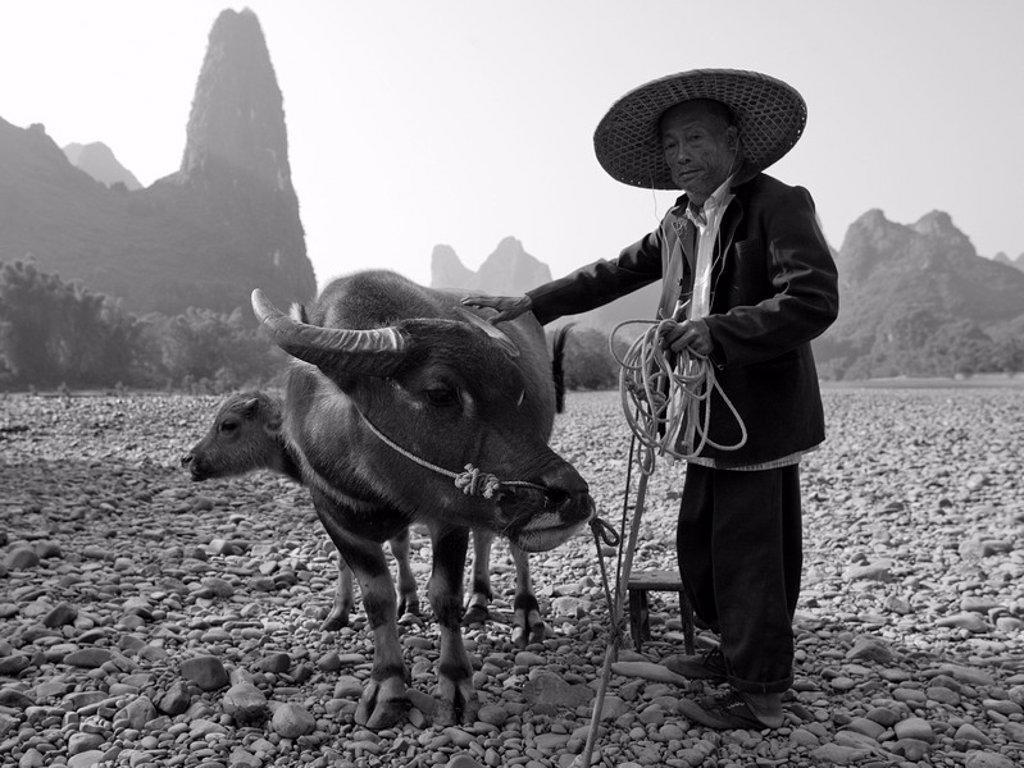 Man standing beside two water buffalo : Stock Photo