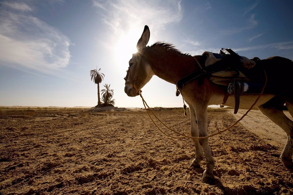 Stock Photo: 1889-44869 A donkey in Siwa