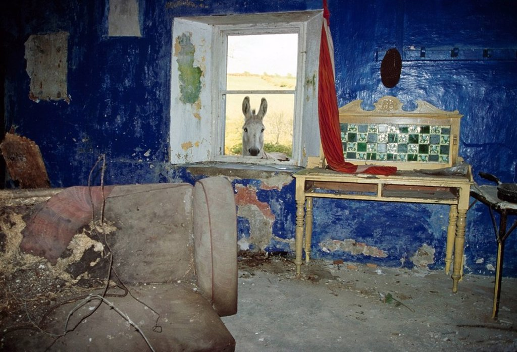 Donkey looking into abandoned cottage, County Waterford, Ireland : Stock Photo