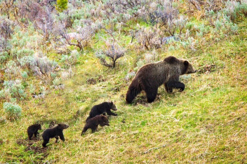 sow grizzly bear and four cubs ursus arctos horribilis in yellowstone national park, wyoming, united states of america : Stock Photo