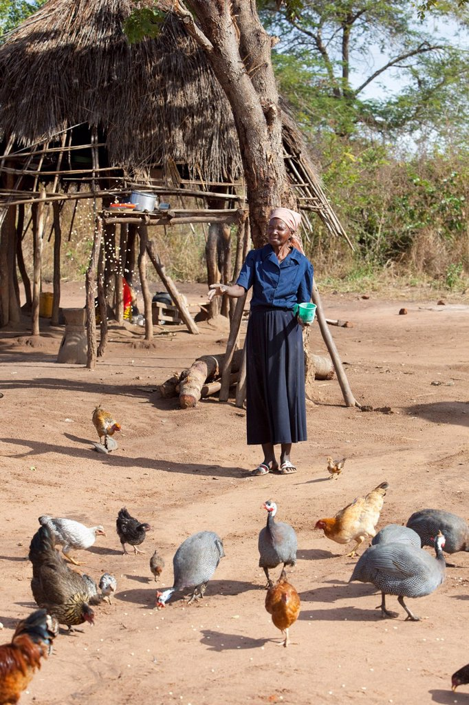A Woman Feeding The Chickens, Manica, Mozambique, Africa : Stock Photo