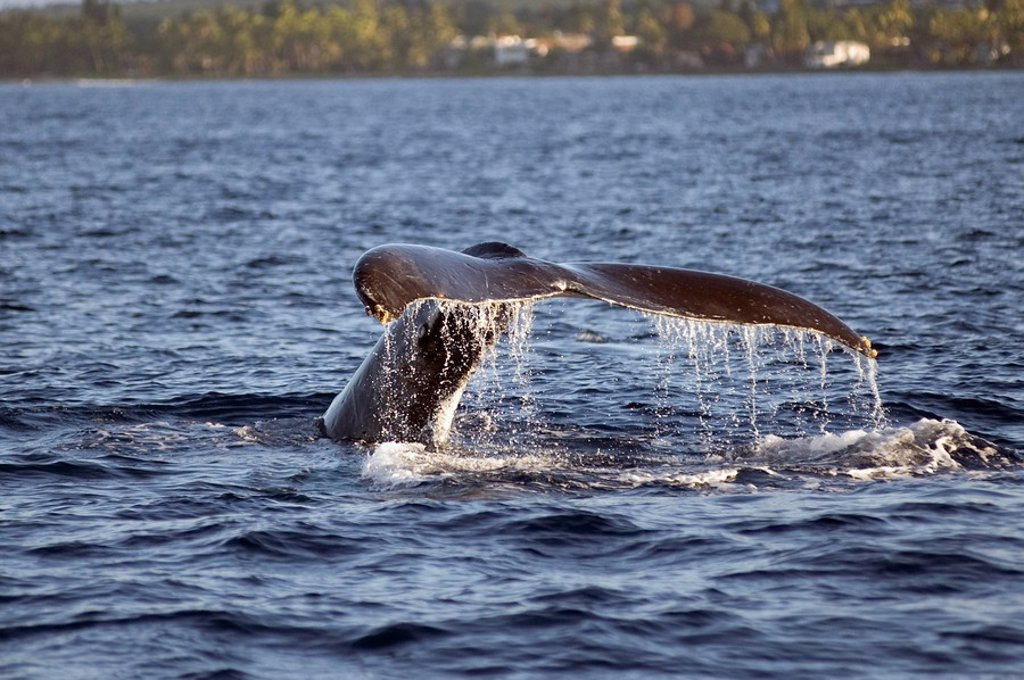 Whale tail submerging, Maui, Hawaii, USA : Stock Photo