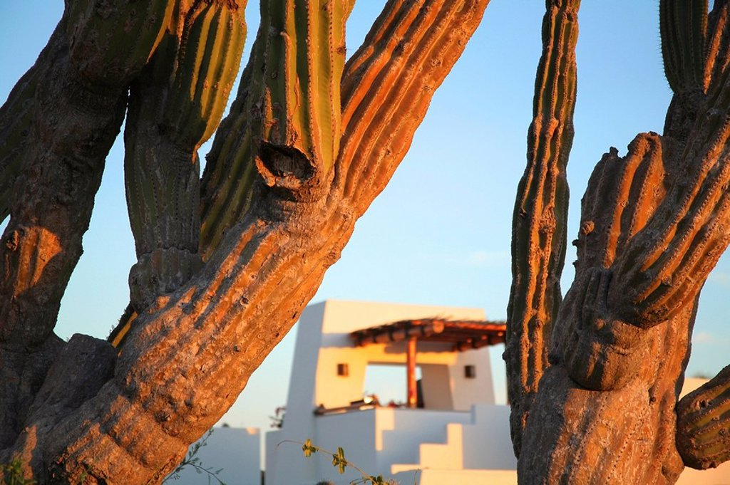 Stock Photo: 1889-58425 Cactus, Cabo San Lucas, Mexico
