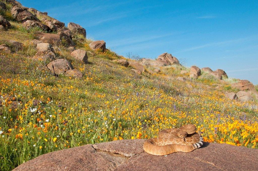 Red diamond rattlesnake basking on a boulder, Riverside County, California, USA : Stock Photo