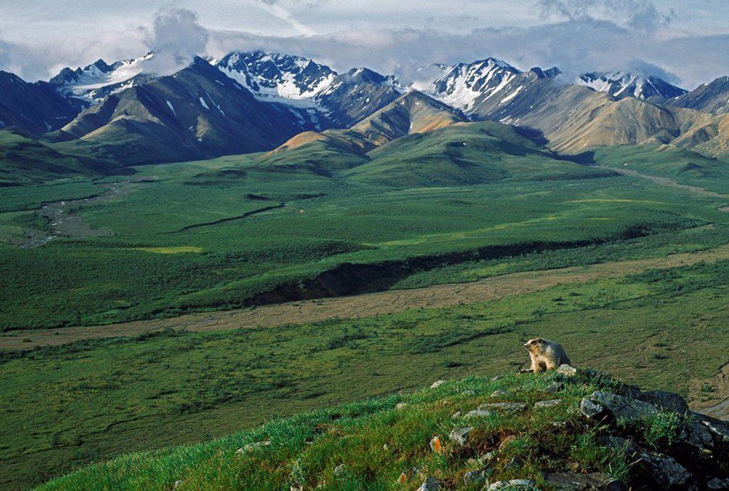 Hoary marmot Marmota caligata, Alaska : Stock Photo