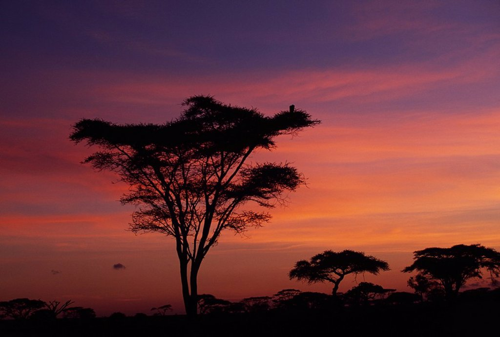 Acacia trees at sunrise in Serengeti National Park, Tanzania, Africa : Stock Photo