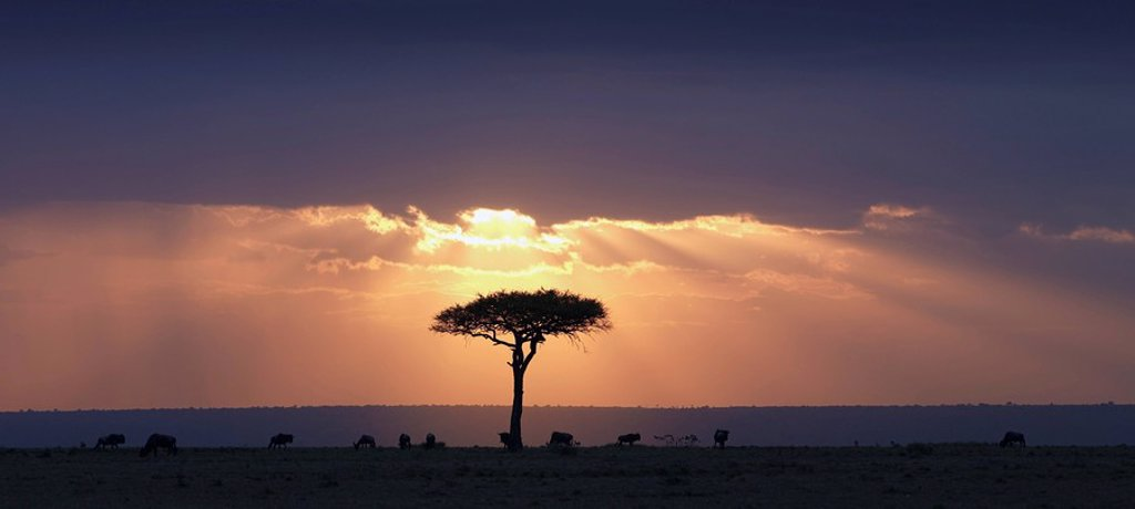 An Acacia tree and wildebeest under a sunset, Kenya, Africa : Stock Photo