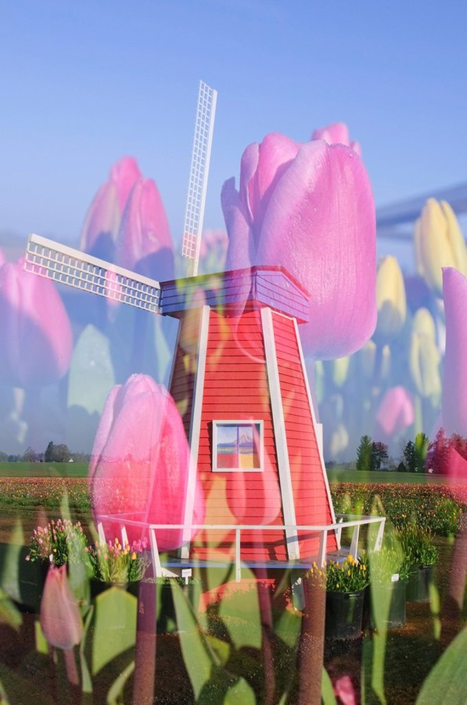 Woodburn, Oregon, United States Of America, Tulips And A Windmill At Wooden Shoe Tulip Farm : Stock Photo