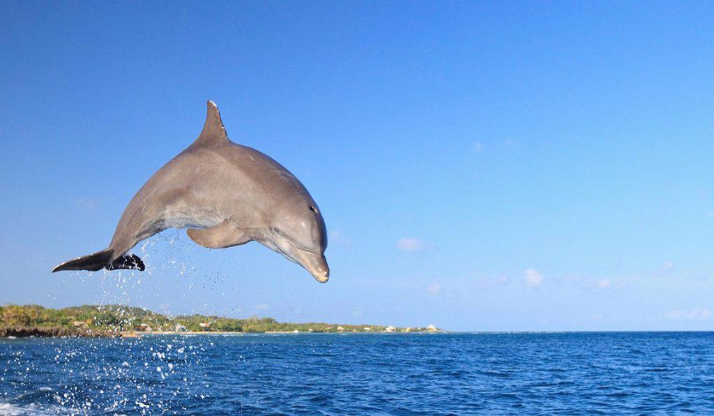 Roatan, Bay Islands, Honduras, Bottlenose Dolphin Tursiops Truncatus Jumping In The Caribbean Sea : Stock Photo