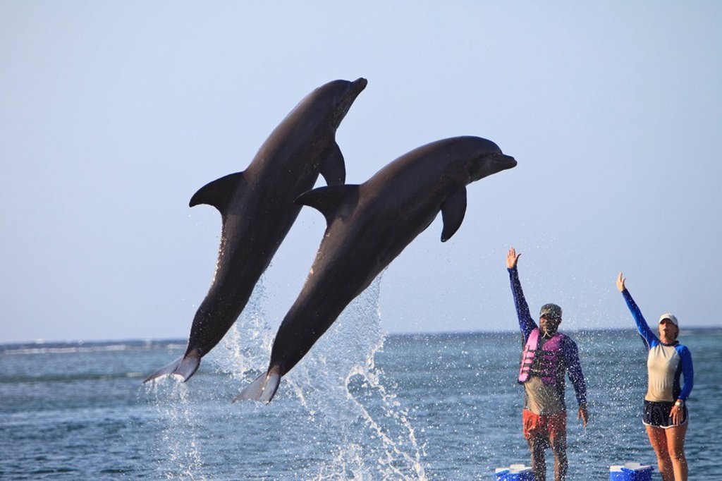 Roatan, Bay Islands, Honduras, Trainers And Bottlenose Dolphins Tursiops Truncatus At Anthony´s Key Resort : Stock Photo