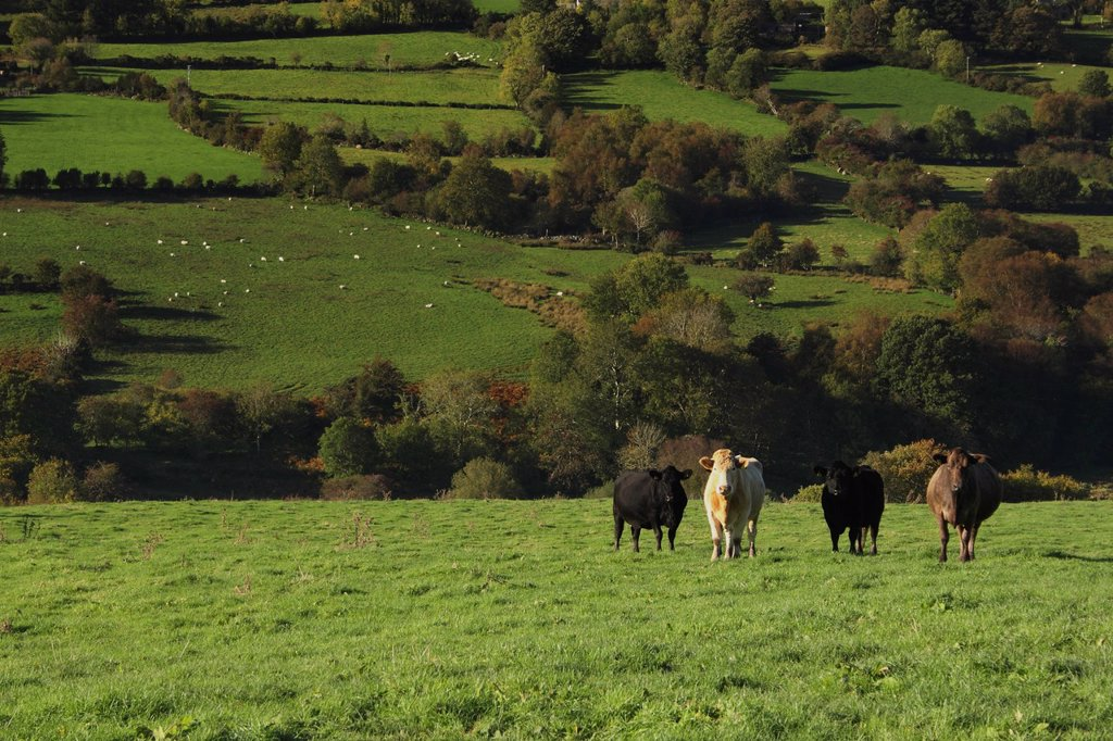 cows in a field in the nire valley in munster region, county tipperary, ireland : Stock Photo