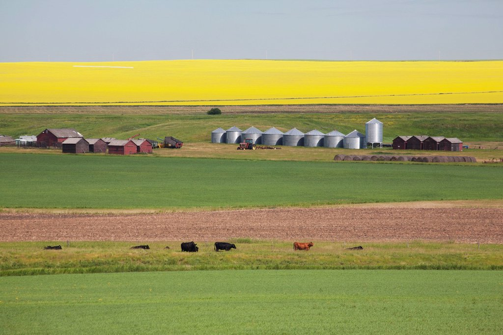farm yard with grain bins set into fields of green wheat pasture with cattle and open soil with flowering canola on the hillside in the distance and blue sky, alberta canada : Stock Photo