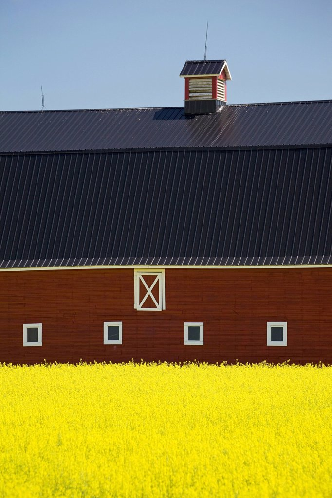 Stock Photo: 1889-81218 Front of a red barn in a flowering canola field with blue sky south of high river, alberta canada