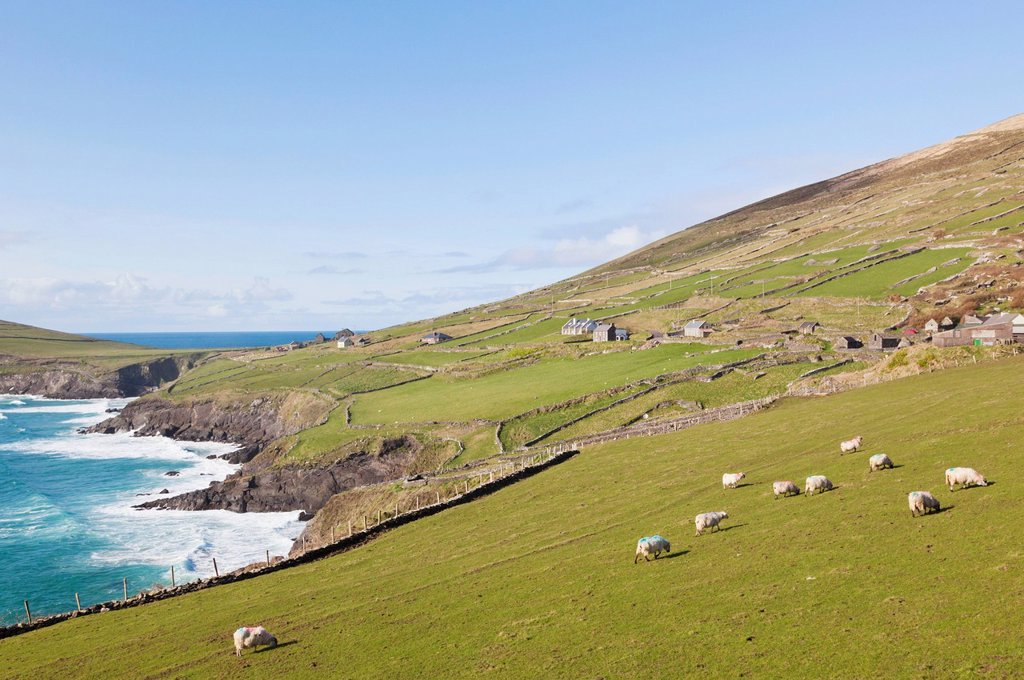 Stock Photo: 1889-85407 Flock Of Sheep Grazing Along The Coast Hear Slea Head, Dingle Peninsula County Kerry Ireland