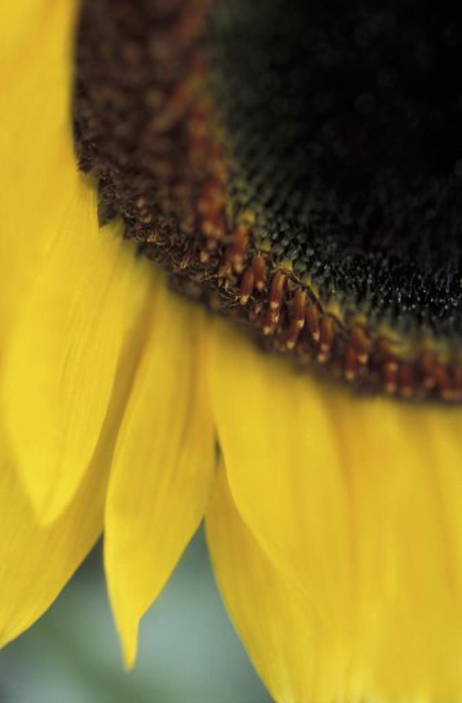 Stock Photo: 1889R-1018 Closeup of sunflower