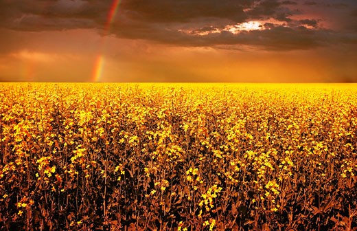 A field of canola with a rainbow : Stock Photo