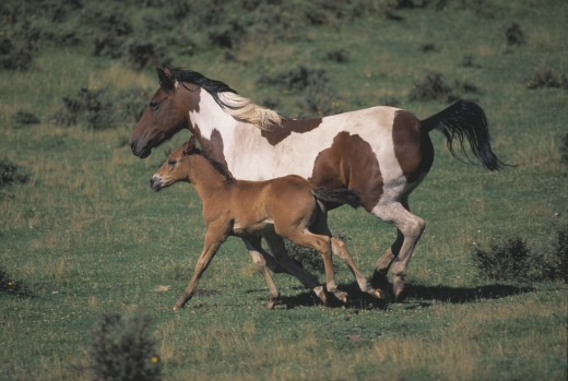 Mare and colt running : Stock Photo