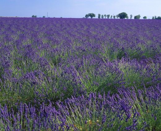 Lavender plants in southern France : Stock Photo