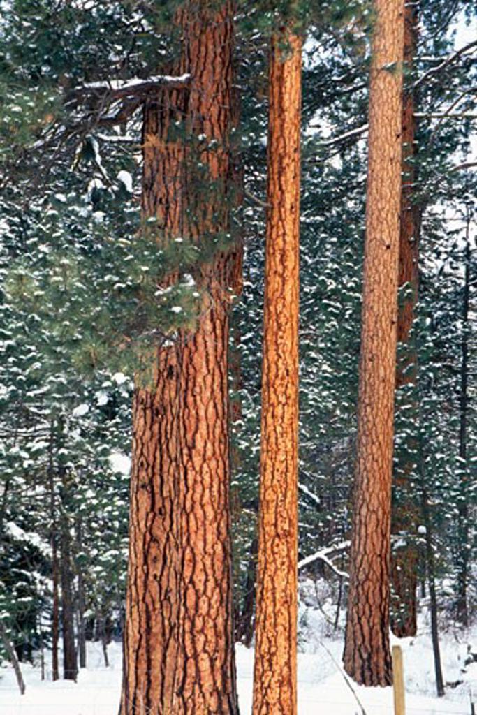 Snow on ponderosa pine trees : Stock Photo