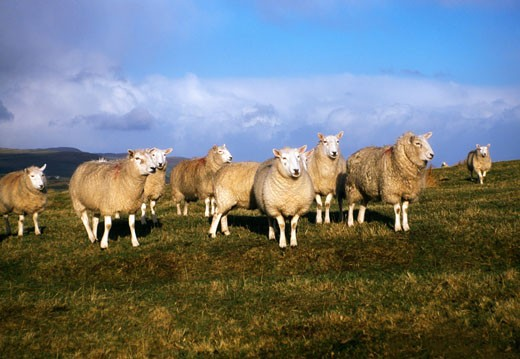 Stock Photo: 1889R-11667 Sheep, Ballymena, Ireland