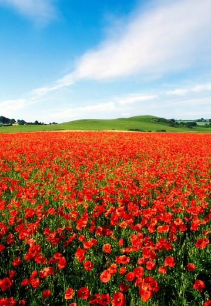 A sea of wild poppies : Stock Photo