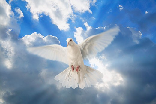 A dove in the sky : Stock Photo