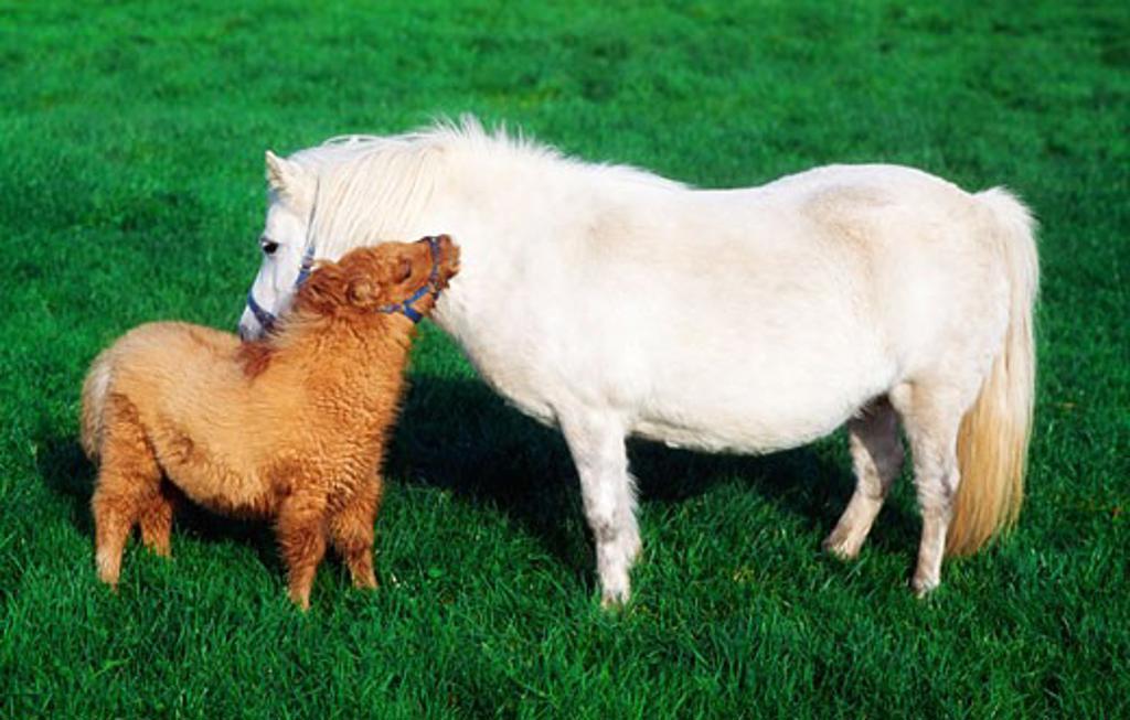 Shetland Pony and Foal : Stock Photo